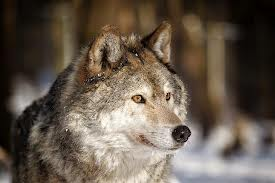 Wolf hunters took six animals above quota during 2013 season