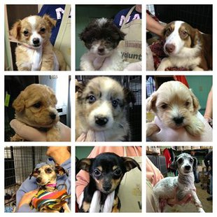These are just some of the puppies rescued by the Lincoln County Humane Society 12/21/13.  Photo: Lincoln County Humane Society