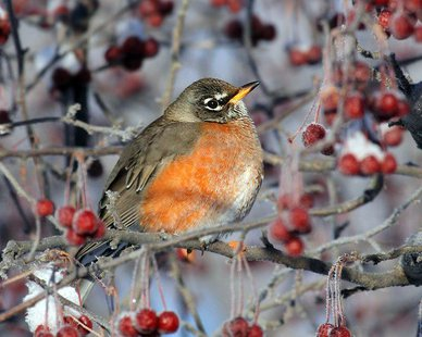 American Robin (Jonathan Oleyar, courtesy National Audubon Society)