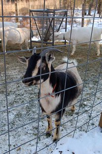Dairy goat (Photo from: Jennifer Dickert/Creative Commons)