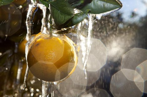 Sprinklers spray water onto a field of orange plantation for the cold weather to coat a protective layer of ice around them in Plant City, F