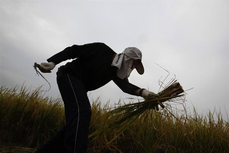 A volunteer works in one of the last paddy fields at Hong Kong's New Territories, near the border with Shenzhen November 6, 2013. REUTERS/Bo