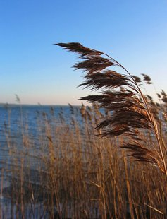 Phragmites (Photo from: Darkone/Creative Commons).