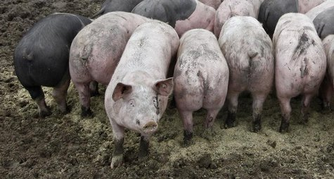 Pigs are pictured at an ecological pig farm in Germering west of Munich, southern Germany, January 12, 2011. REUTERS/Michaela Rehle