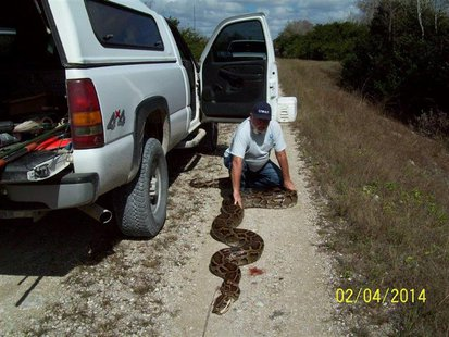 A near record-breaking Burmese Python measuring more than 18-feet long (5.5 meters) is shown in this January 4, 2014 handout photo provided