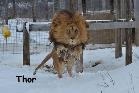 Thor at Exotic Feline Rescue Center photo provided by EFRC