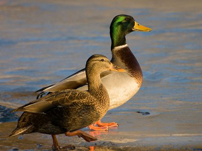 Male and female Mallard ducks. (Photo from: By Fcb981 (Own work) [GFDL (http://www.gnu.org/copyleft/fdl.html) or CC-BY-SA-3.0 (http://creativecommons.org/licenses/by-sa/3.0/)], via Wikimedia Commons)
