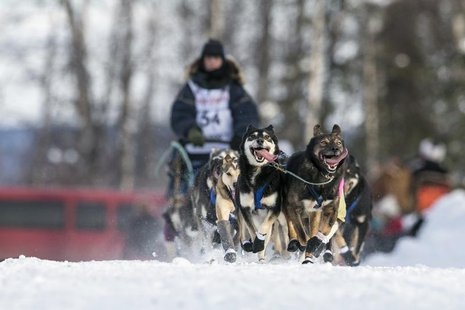 Jessica Hendricks' team races down the trail at the re-start of the Iditarod dog sled race in Willow, Alaska March 3, 2013. REUTERS/Nathanie