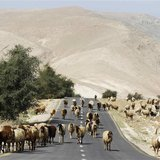 A sheep walk on a road as they graze in Palestinian village of al-Auja, near the West Bank city of Jericho March 7, 2014. REUTERS/Ammar Awad