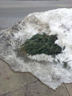Snow finally melted enough on March 11, 2014 to uncover this Christmas tree left out for pick-up in December on Western Avenue, Coldwater MI