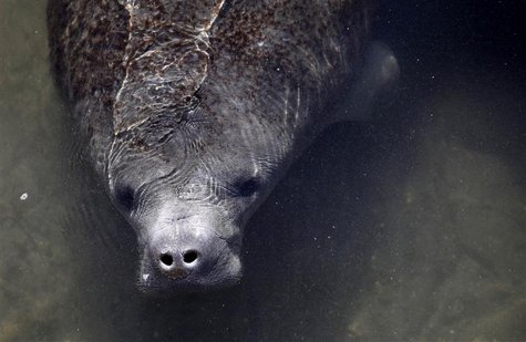 A manatee is seen near a water outlet at an inactive Florida Power & Light Company power plant undergoing renovation in Riviera Beach, Flori