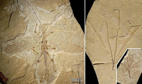 A fossil stick insect referred to as Cretophasmomima melanogramma, in Inner Mongolia at the Jehol locality, a site from the Cretaceous perio