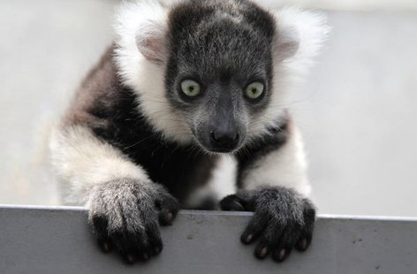 A black-and-white ruffed lemur (Varecia variegata) born in captivity a month ago is seen at the zoo in Cali March 14, 2011. REUTERS/Jaime Sa