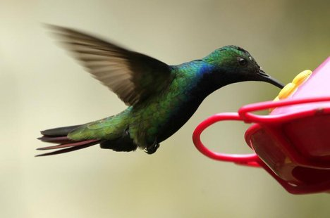 Black-throated Mango hummingbird, Anthracothorax nigricollis, feeds in a garden in San Francisco, near Bogota August 31, 2012. REUTERS/Jose