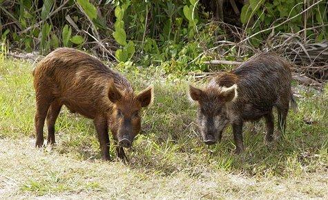 wild pig/boar