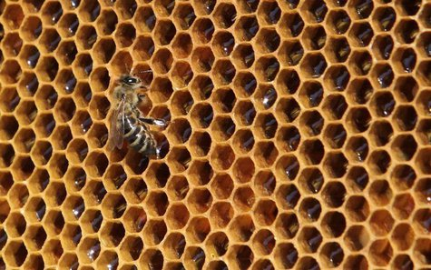 A bee sits on a honeycomb from a beehive at Vaclav Havel Airport in Prague September 6, 2013. REUTERS/David W Cerny