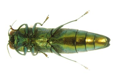 Ventral view of Emerald Ash Borer adult. (Photo from: http://www.na.fs.fed.us/spfo/eab/img/img.htm {{PD-USGov-USDA}})