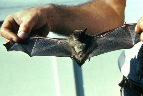 Little Brown Bat (wikipedia)