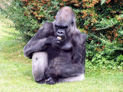 Western lowland gorilla. (By Walpole (Own work) [CC-BY-SA-3.0 (http://creativecommons.org/licenses/by-sa/3.0)], via Wikimedia Commons)