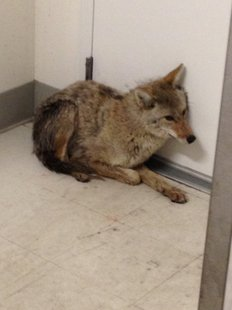 Coyote in West Acres Mall