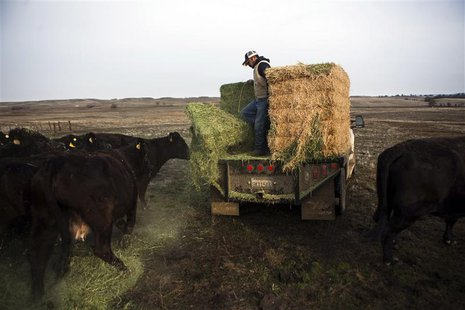 Ranch hand Ricardo Madrigal feeds cattle on the Van Vleck Ranch in Rancho Murieta, California, in this February 12, 2014 file photo. REUTERS