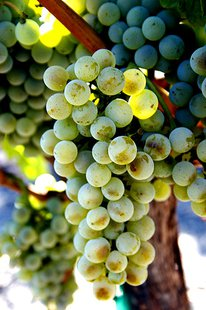 The Semillon blanc grapes get brown smudges on as they turn.  (Photo from: By Alison Parks-Whitfield (originally posted to Flickr as SemillonBlancBunch5) [CC-BY-2.0 (http://creativecommons.org/licenses/by/2.0)], via Wikimedia Commons)