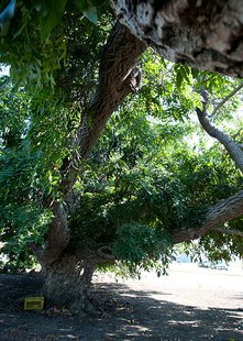 Paradox Hybrid Walnut Tree (Photo from: By Lure Photography (Own work) [CC-BY-SA-3.0 (http://creativecommons.org/licenses/by-sa/3.0)], via Wikimedia Commons)
