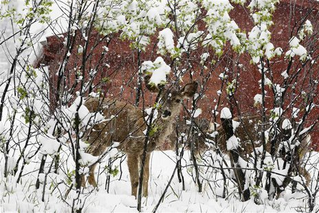 A mule deer fawn shelters in a leafed-out shrub during a late spring snow storm in Golden, Colorado May 11, 2014. REUTERS/Rick Wilking