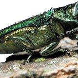 An emerald ash borer.