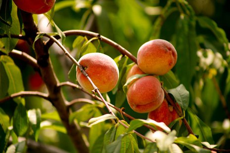 Peaches (Courtesty of Unuplusunu by way of Wikimedia Commons)