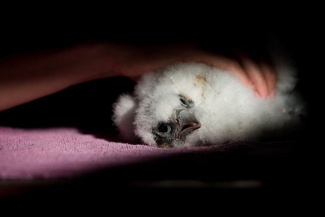 A peregrine falcon chick is banded and examined on May 28, by Indiana Department of Natural Resources Division of Fish and Wildlife officials.