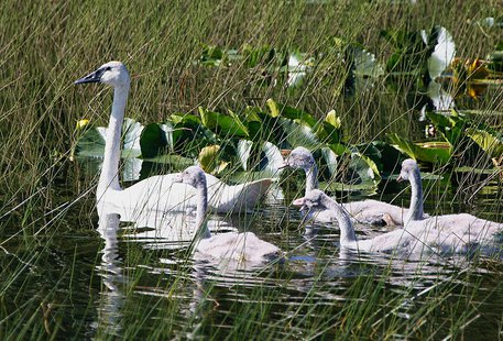 Tumpeter Swan (Cygnus buccinator) brood By Donna Dewhurst, USFWS [Public domain], via Wikimedia Commons