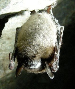 Brown bat suffering from White Nose Syndrome.(Wikipedia)