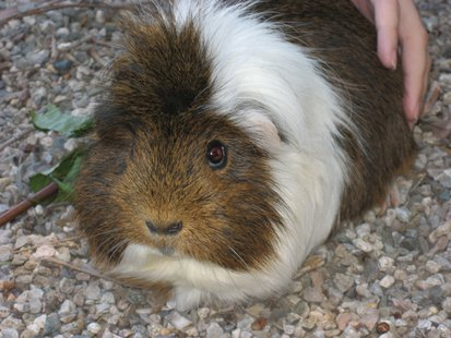 Guinea pig (via Wikicommons.com)