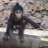 Mangabey monkeys have become an endangered species and Binder Park Zoo is part of a program to save them.  That's why the birth of  Cekelea is important.