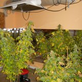 Indoor pot crop seized near Hartford.