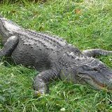 Alligator found in Sheboygan