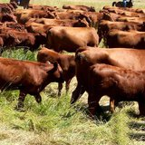 Livestock owners are encouraged to continue efforts to keep cattle and other livestock comfortable using all available resources. (KELO AM File)