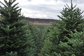 Christmas trees nearly as far as the eye can see.