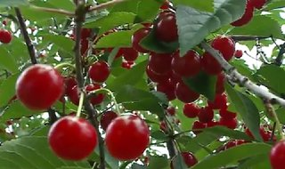 Tart cherries in Door County. (Photo from: FOX 11/YouTube).