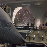 Museum worker Brittany Janaszak, seen here on a lift, cleans a 94-foot-long blue whale model at the American Museum of Natural History in Manhattan, New York July 8, 2014. CREDIT: REUTERS/ADREES LATIF