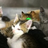 Some of the kittens that were abandoned in Lincoln County, and available at the Lincoln County Humane Society.  PHOTO:  Lincoln County Humane Society.