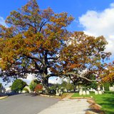 White oak tree - By Mopenstein (Own work) [Public domain], via Wikimedia Commons