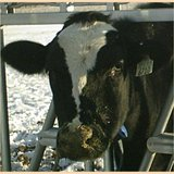 Dirty muzzle and watery eyes are the first signs of bovine respiratory disease.  Image: SDSU.edu