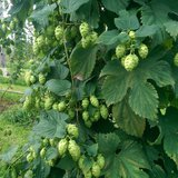 A hop farm outside of Algoma (Photo Copyright Midwest Communications, Inc.)