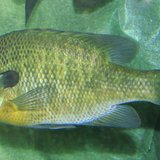 A bluegill swims in a aquarium By Ltshears (Own work) [Public domain], via Wikimedia Commons