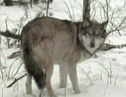 Gray wolf in Wisconsin (Photo from: FOX 11/YouTube).
