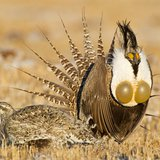 Montana Offers Sage Grouse Plan As Deadline Looms