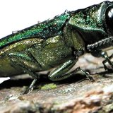 Emerald Ash Borer (from U.S. Department of Agriculture via usda.gov)