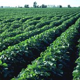Soybean Crop In ND Expected To Reach Record Level